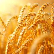 Cerealicole: scheda colturale
