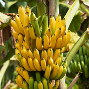 Colture tropicali: scheda colturale
