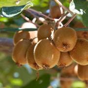 Kiwi: scheda colturale
