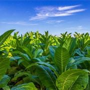 Tabacco: scheda colturale